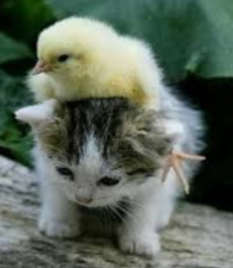 chickoncat