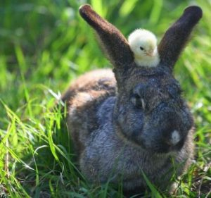 chick and rabbit