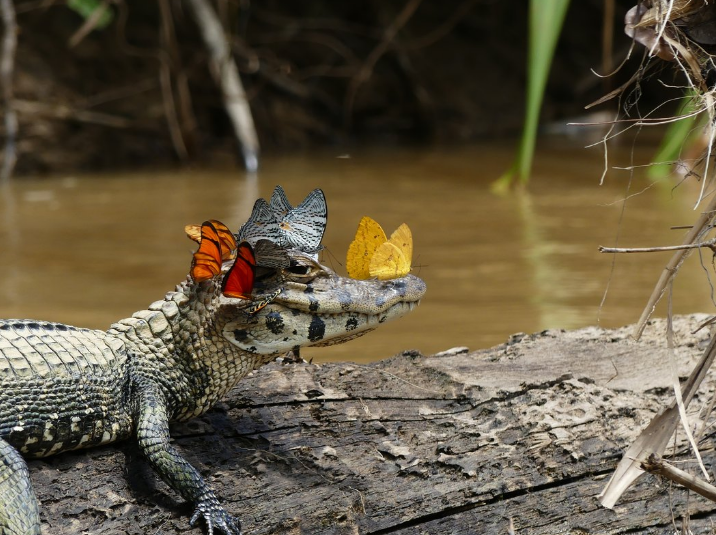 butterfly riding caiman